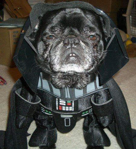 cosplay-dog-animaux-chien-déguisement-mogwaii (30)