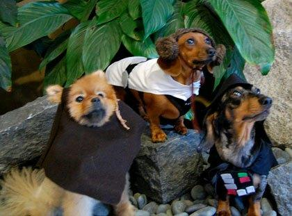 cosplay-dog-animaux-chien-déguisement-mogwaii (33)