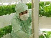 Toshiba, futur producteur légumes