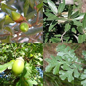 290px-Quercus_sp_mosaic_leaves_fruits