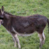 Faits sordides dans le Pays de Herve: il prenait du plaisir avec un âne...