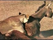 lions menés ânes