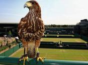 Wimbledon peut compter Rufus faucon