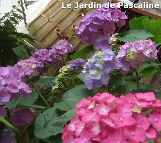 Bouture d'hortensia