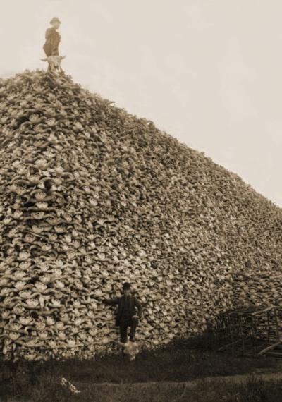 Buffalo kill in America. 1800s