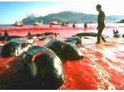 Massacre dauphins globicéphales îles Féroé énième barbarie tradition