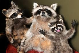 Mouffettes, Ratons (et Ourson)