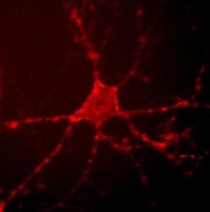 NEURO: Mettre en lumière notre activité cérébrale – PNAS et Nature Communications