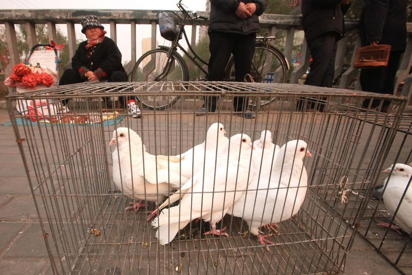 10 000 pigeons ont subi une fouille anale (Chine)