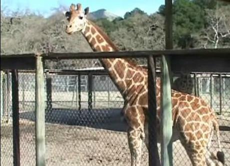 girafe zoo