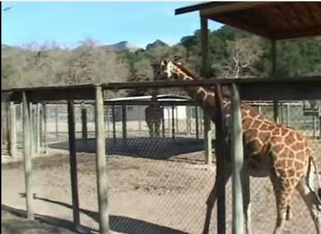 girafe zoo1