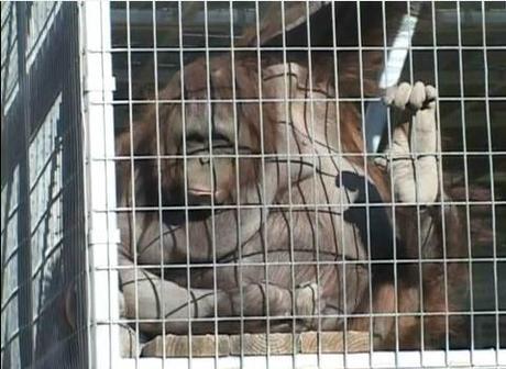ourang outan zoo