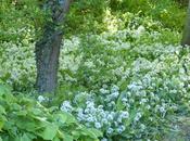 L'ail ours, fleur plante potagère Qu'est-ce donc