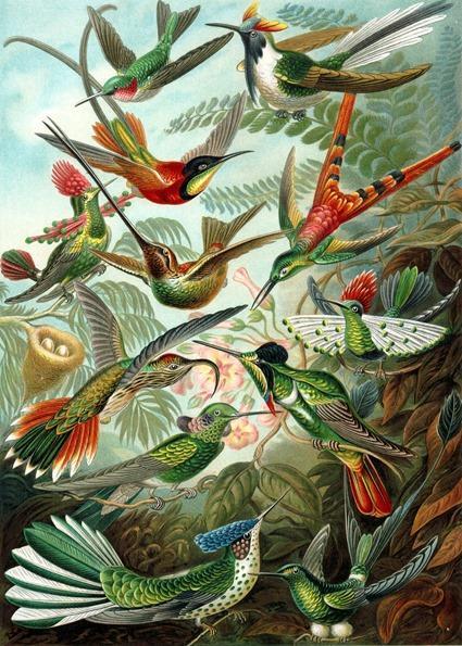 Ernst Haeckel, Kunstformen der Natur (1904), plaque 99: Trochilidae