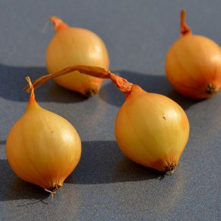 Oignon, echalote et ail, les bulbes à planter en automne ...