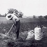 Au 19e siècle, la plantation de la pomme de terre est manuelle
