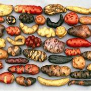 On cultive encore 5000 variétés de pommes de terre dans les Andes