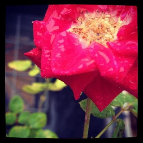 Dernière rose sous la pluie (14 novembre)