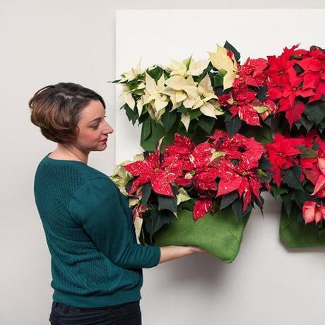 STARS FOR EUROPE : Pour fêter l'étoile de Noël le 12 décembre en France, fleuristes, jardineries et producteurs-détaillants ont instauré la journée nationale du Poinsettia