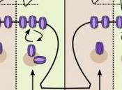 Mémoire capacité tenait qu'à protéine