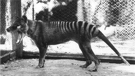 tigre gueule ouverte