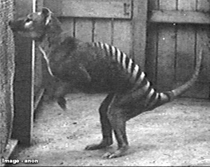 tigre comme kangourou