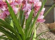 conseils d'entretien pour l'orchidée Cymbidium