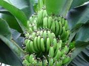 plante fruitière: bananier musa dwarf cavendish.