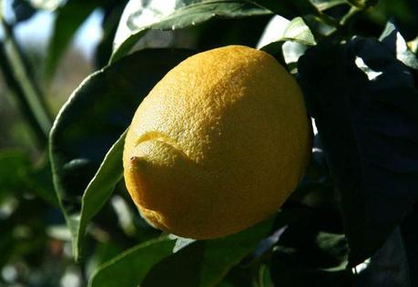 Limone femminello del Gargano