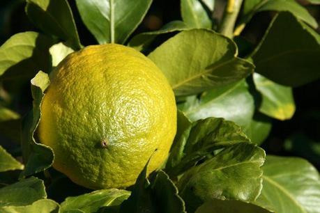 Limone  di Roca Imperiale