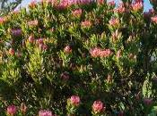 protéa: arbuste très fleuri d'Afrique