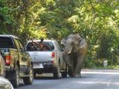 Thaïlande, klaxonnez éléphant traverse [HD]