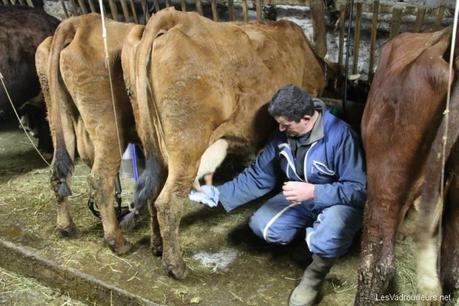 Démonstration de traite de vache