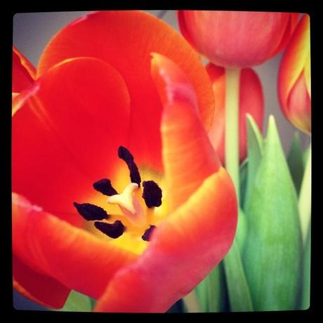 Tulipe ouverte (1er février)