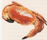 crabe-w