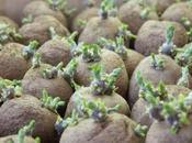 Comment faire germer plants pomme terre