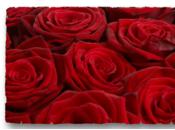 rose, fleur préférée toutes tous