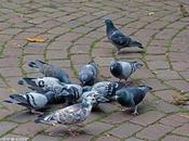 pigeons familiers villes...