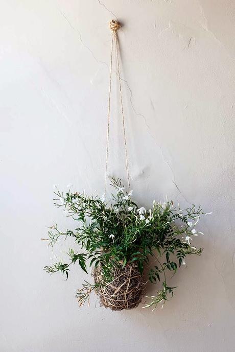 Jasmine diy plant