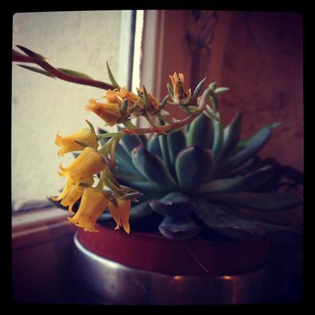 Jaune du cactus en fleurs (12 mars)