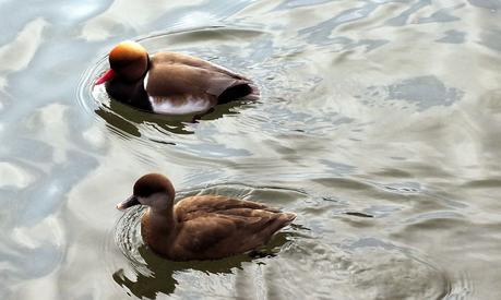 Canards de Nymphenburg (mars 2015)