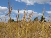 Face changement climatique, semences paysannes sont l'avenir l'agriculture