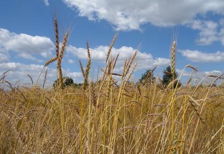 Face au changement climatique, les semences paysannes sont l'avenir de l'agriculture