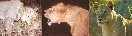 Crinières lions du Tsavo