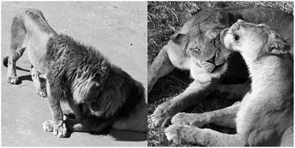 Calins lions