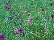 fleur sauvage printemps: fritillaire pintade