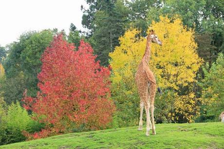 girafes_zoo_beauval