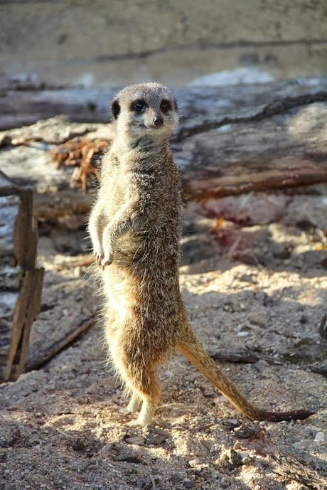 suricates_beauval