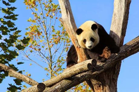 panda_zoo_beauval