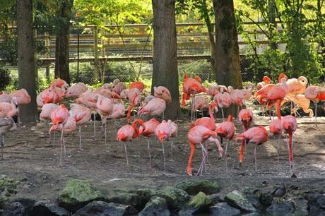 flamants roses beauval
